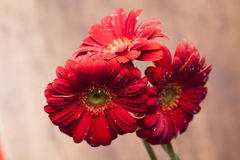 Three beautiful red flowers Royalty Free Stock Photos
