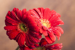 Three beautiful red flowers Stock Photos