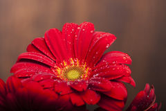 Three beautiful red flowers Royalty Free Stock Image