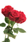 Three beautiful red roses. On a white background Stock Photo