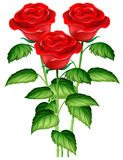 Three beautiful red roses Royalty Free Stock Photo