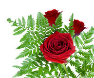 Three beautiful red roses together with fern Royalty Free Stock Image