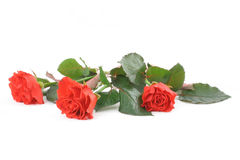 Three beautiful red roses on white Royalty Free Stock Photos