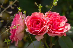 Three beautiful roses in the garden. Flowers Royalty Free Stock Images