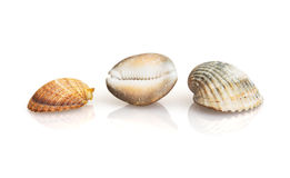 Three beautiful sea shells with reflection Stock Images