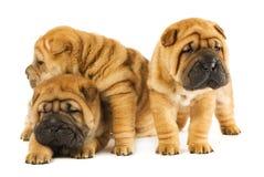 Three beautiful sharpei puppies royalty free stock image