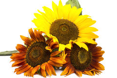 Three beautiful sunflowers Stock Photos