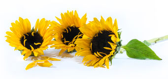 Three beautiful sunflowers on a white background Stock Photos