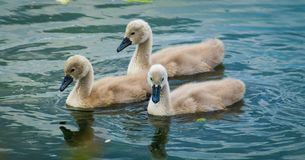 Beautiful Swan cygnets. Three Beautiful swan cygnets at the pond, The picture is taken in Denmark royalty free stock photos