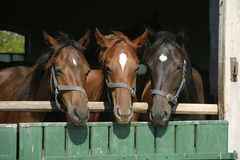Three beautiful thoroughbred horses looking over the barn door. Nice thoroughbred foals in the stable door. Purebred chestnut horses in the barn royalty free stock images