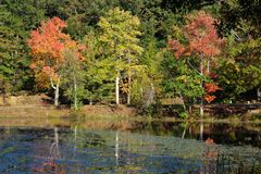 Red`s Orange`s and Yellow`s. Three beautiful trees showing off their true foliage colors of Orange`s red`s yellow`s and greens, reflecting off the water royalty free stock image