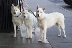 Three beautiful white dogs with ice blue eyes tied to a trash can outside a store while their master shops - looking straight at. Camera stock photos