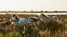 Three horses of Camargue. Three beautiful white horses of  Camargue roam free Royalty Free Stock Images