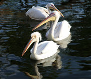 Three beautiful white pelicans float in water. Royalty Free Stock Photo