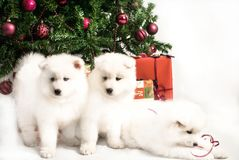 Three beautiful white puppy playing under the Christmas tree royalty free stock photo