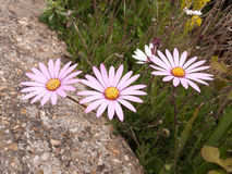 Three beautiful white purple and orange flower heads of a garden stock photography
