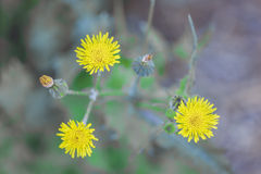 Three beautiful yellow flower Sonchus oleraceus. Are in focus and look beautiful in pictures Royalty Free Stock Images