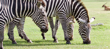 Three beautiful zebras together Stock Images