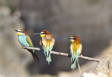 Three bee-eaters Royalty Free Stock Photography