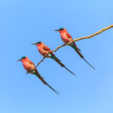 Three bee eaters sitting on a branch Stock Images