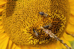 Three bee sitting on flower sunflower Royalty Free Stock Photos