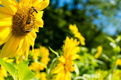Three bee on sunflower side view Royalty Free Stock Photo