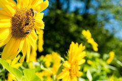 Three bee on sunflower side view Royalty Free Stock Image