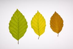 Three beech leaves in different colours. Beech leaves in a variety of colours Royalty Free Stock Photos