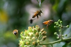 Three bees. Approach of bees and flower stock photography