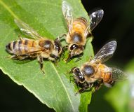 Three Bees Feeding and Working Together royalty free stock image