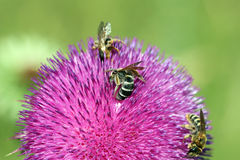 Three bees on flower Stock Photos