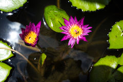 Three bees with pink lotus flower in the pool Royalty Free Stock Photo