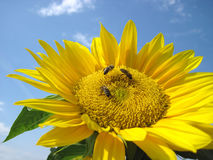 Three Bees are sitting on the soneflower Stock Photography