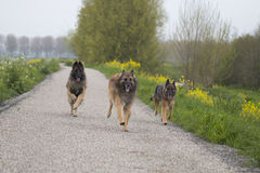 Three Belgian Shepherd Tervuren dogs running outside Royalty Free Stock Photos