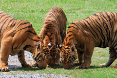 Three  of  bengal tiger in field Royalty Free Stock Image