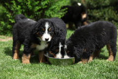 Three Bernese Mountain Dog puppies drinking Stock Photos