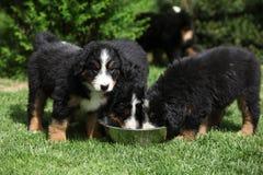 Three Bernese Mountain Dog puppies drinking Stock Photos