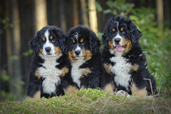 Three Bernese Mountain Dog puppies Royalty Free Stock Image