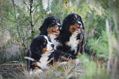 Three Bernese Mountain Dog puppies Stock Photography