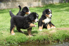 Three Bernese Mountain Dog puppies Stock Images