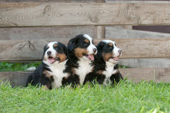 Three Bernese Mountain Dog puppies portrait Stock Image