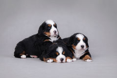 Three Bernese Mountain Dog puppy portrait Stock Images