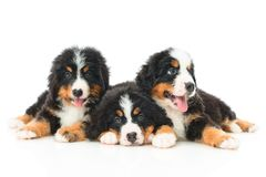 Three Bernese Mountain Dog puppy Stock Images