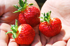 Three berries. Of strawberries in the palms of the hands Royalty Free Stock Photography