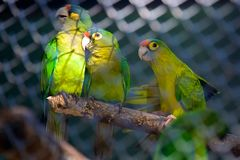 Three Amazon Parrots enjoying themselves!