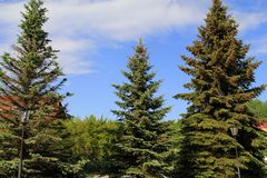 Three big blue firs in the Park royalty free stock image