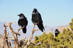Three big crows. Sitting on the juniper branch and mountains far behind royalty free stock photos