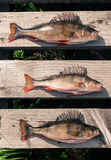 Three big fish (Perch) freshly caught on a wooden board of a p Royalty Free Stock Images
