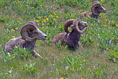 Three Big Horn Rams in the Yellow Flowers Stock Photography