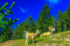Big horns resting on a hill side, Banff National Park, Alberta, Canada. Three big horns on a hill side under a bright blue sky Royalty Free Stock Photos